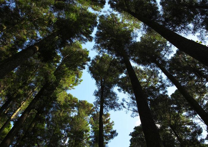 高千穂の大木